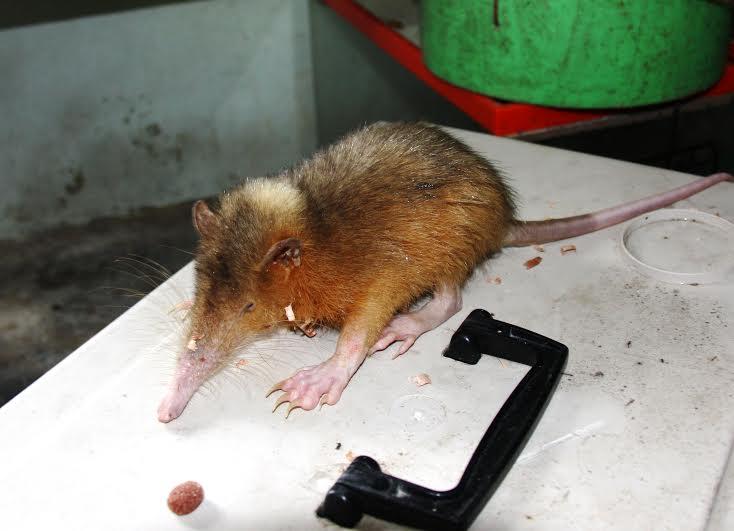 LA ALTAGRACIA: Rescatan solenodonte en peligro extinción