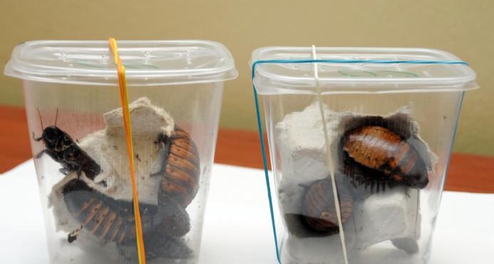 Incautan cucarachas gigantes; Agricultura las envía a S. Vegetal
