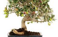 Los bonsáis en exposición