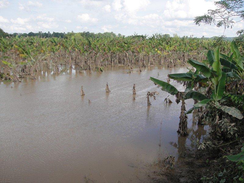 COTUI: Lluvias causan cuantiosos daños a la agricultura