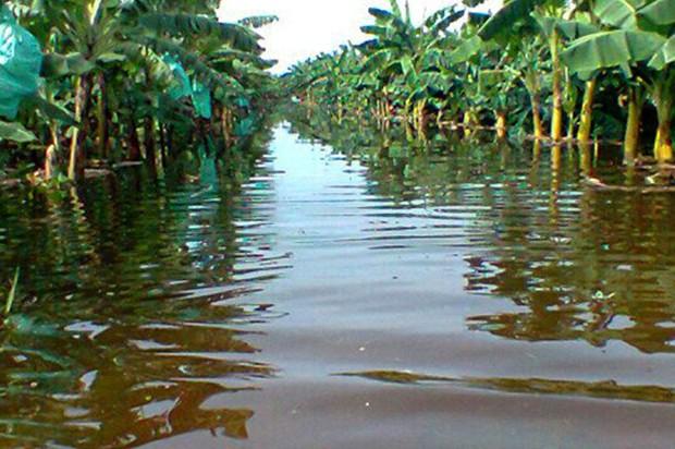 Lluvias dañan 127 mil tareas plátanos, 100 mil de banano y 55 mil de yuca