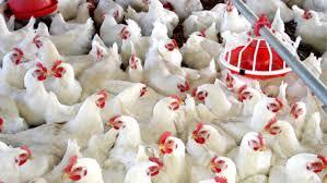 Francia sacrificará800 mil aves por gripe aviar