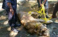 MOCA: Muere león en Zoológico Municipal