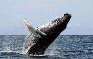 Medio Ambiente llama población a visitar santuario ballenas jorobadas