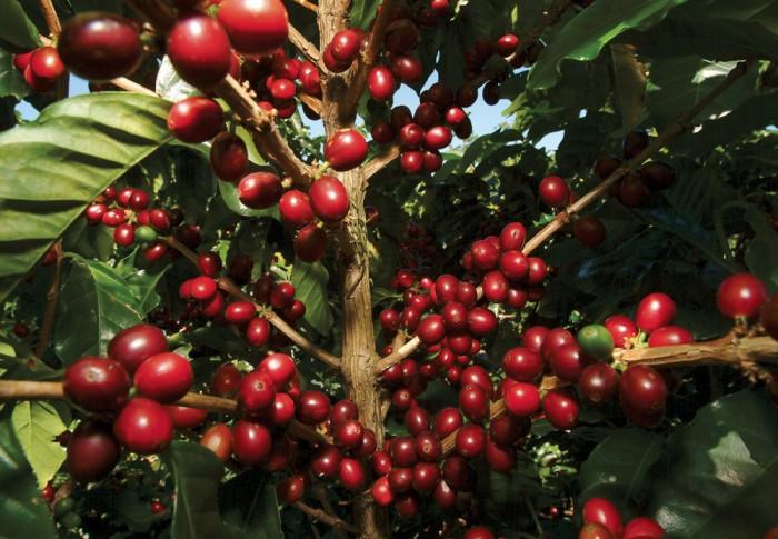 Producción de café dominicano se ha reducido en más de 70 por ciento