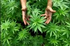 NUEVA JERSEY: Apresan 8 personas por plantar marihuana en parque