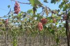 NEYBA: Cosechan nueva modalidad uva de exportación