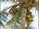 Denuncian plaga afecta la producción de coco en la República Dominicana