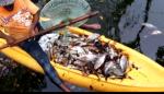 PUERTO PLATA: Investigan muerte centenares de peces en laguna