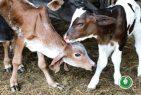 Agricultura presenta nacimientos por fertilización In vitro en la RD