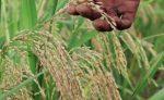 Productores de arroz del Nordeste de la RD proponen se suba su precio