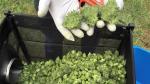 NUEVA YORK: Hospitalizan a 25 tras consumir marihuana sintética