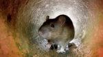 Usan hielo seco para matar ratas en Nueva York