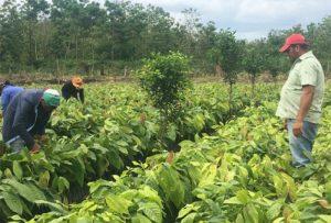 Fomentarán el cacao climáticamente inteligente en Centroamérica y RD