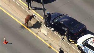 Caos en autopista NY por la aparición de una vaca