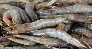 Ministerio Público decomisa 357 libras de langosta y cangrejo en Pedernales