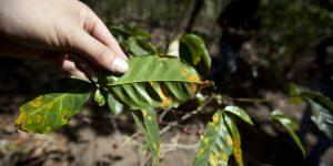 Advierten incremento de plagas por cultivos en RD y AC por pocas lluvias