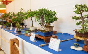 Exposición de Bonsái recrea un paisaje en miniatura en Agora Mall