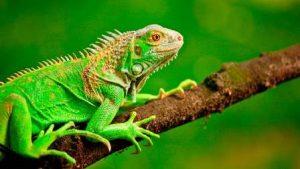 RD amenazada por invasión de las iguanas verdes