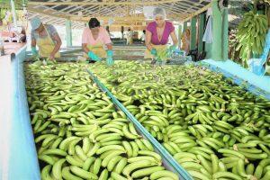 Gobierno inicia venta de plátano y guineo a precios populares