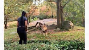 Mujer baila delante de un león en zoológico del Bronx