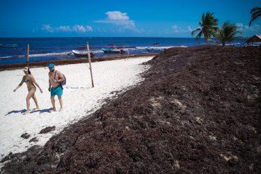 Italia y Noruega apoyan lucha de México contra zargazo afecta playas