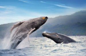 De enero a marzo Samaná recibe hasta 2.000 ballenas jorobadas
