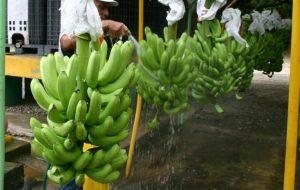 Preocupa a productores de banano y cacao nuevas normas de la UE
