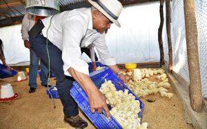 Agricultura otorga 40 mil pollos bebés a avicultores de Moca y Santiago