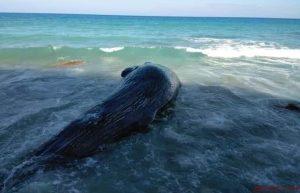 BARAHONA: Muere ballena tenía varios días varada en arrecife de la zona