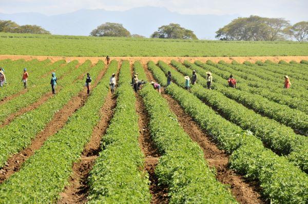 Gobierno irá en auxilio de productores de tomate en la Línea Noroeste
