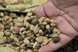 Agricultura financiará 100 proyectos cafetaleros en la Región Noroeste
