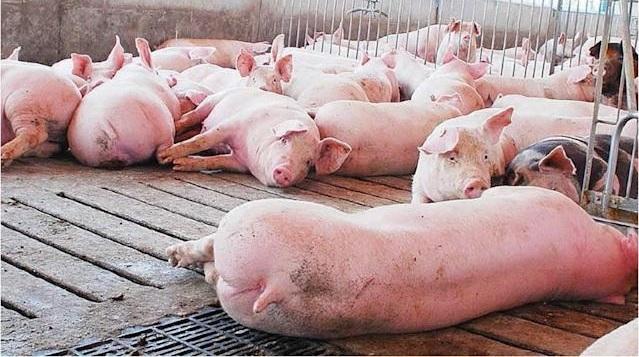 Canadá, EU y Puerto Rico «se blindan» ante brote peste porcina en Dominicana
