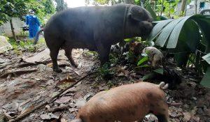 Gobierno pagará al precio actual del mercado cerdos sean sacrificados